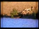 Быки, львы и крокодил.